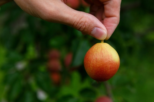 指は、梨のある木の背景に対して、尾で梨を保持します Premium写真