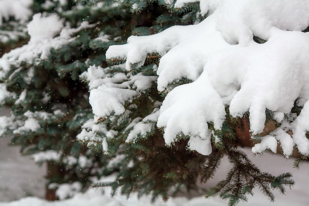 Fir branches covered with fresh snow, falling snowflakes, winter surface Premium Photo