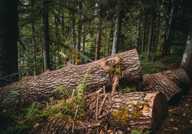 Fir mountain forest Premium Photo
