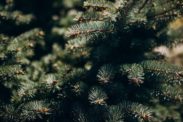 針でモミの木の枝をクローズアップ 無料写真