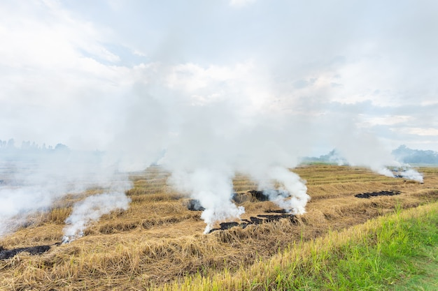 Fire burning dry rice straw in the field Premium Photo