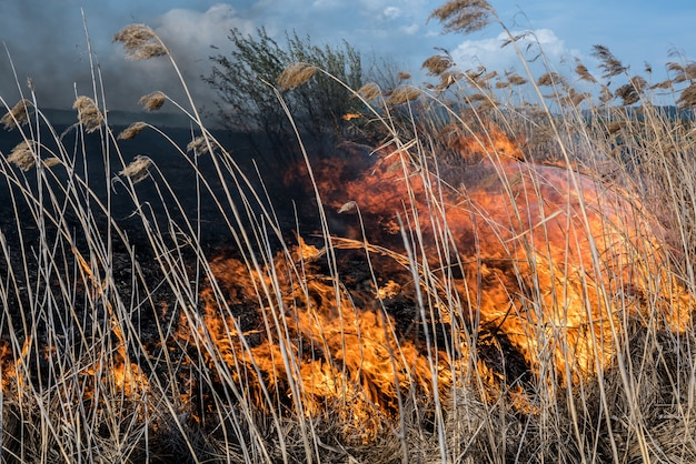 Fire in the reeds. dried reeds growing in the fire at sunset. Premium Photo