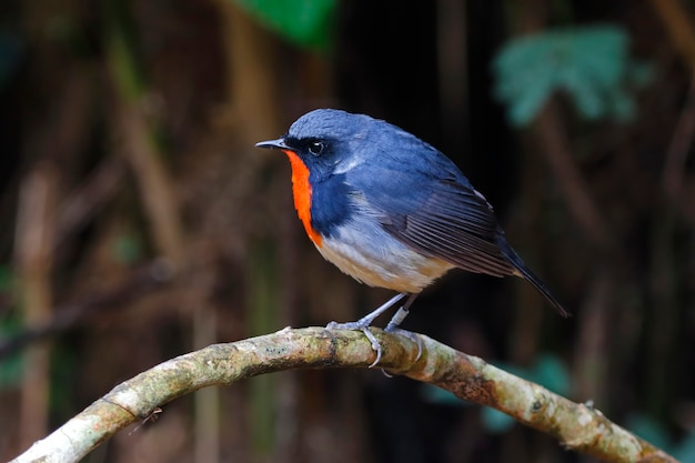 Firethroat luscinia pectardens beautiful male birds of thailand Premium Photo