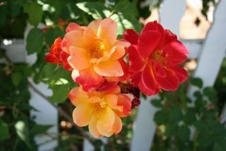 Firey roses, roses Free Photo