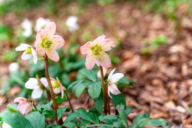 最初の花アネモネネモローサ、アネモネ、ウィンドフラワー。 Premium写真