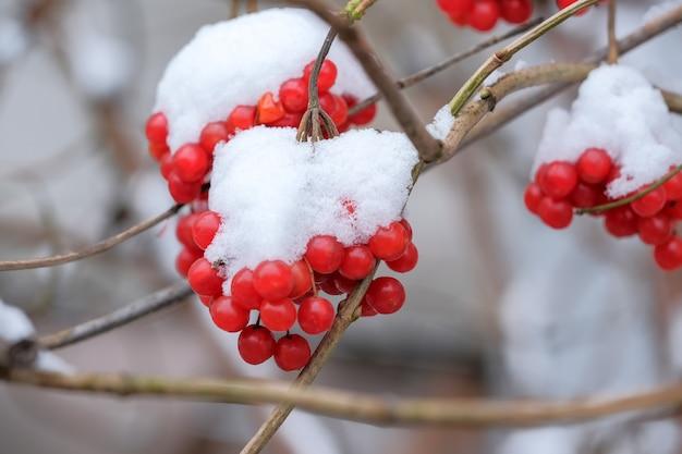 住宅のマクロのクローズアップの近くの都市公園で真っ赤なガマズミ属の果実の最初の雪 Premium写真