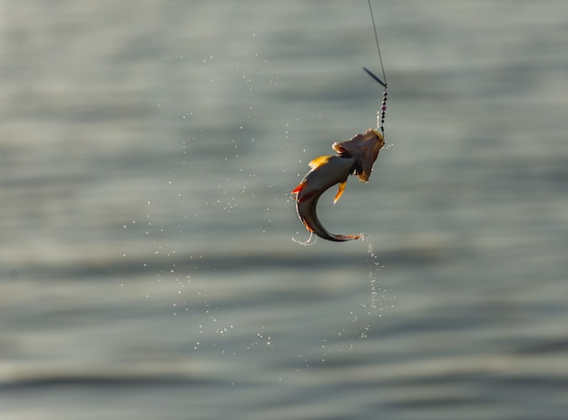 Fish on the hook Premium Photo