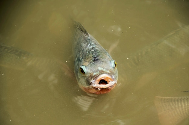 Fish (nile tilapia, family cichlidae) breathe above water. Premium Photo