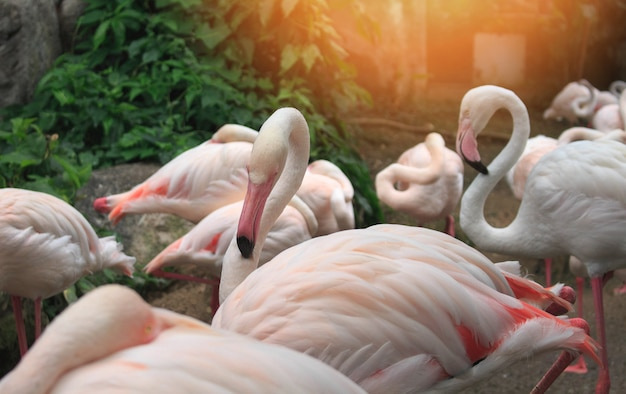 Flamboyance of greater flamingos wading in the zoo. Premium Photo