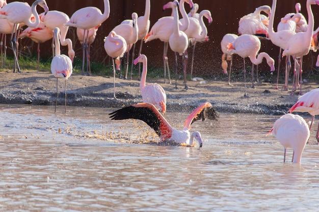 動物保護区の池で水浴びしながら翼を広げているフラミンゴ 無料写真