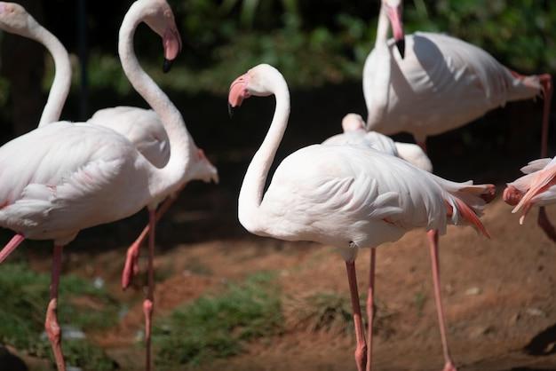 Flamingo in the zoo, thailand Premium Photo