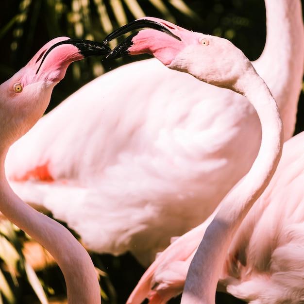 フラミンゴ 無料写真