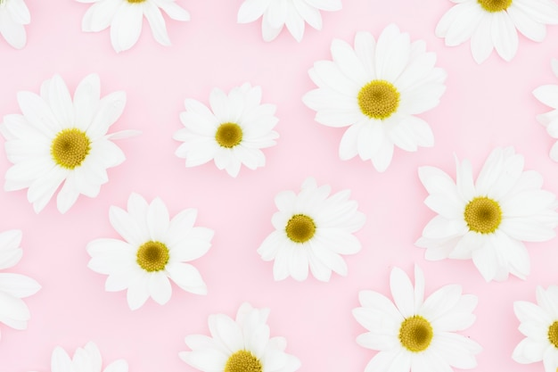 Flat lay white daisies on pink background Free Photo
