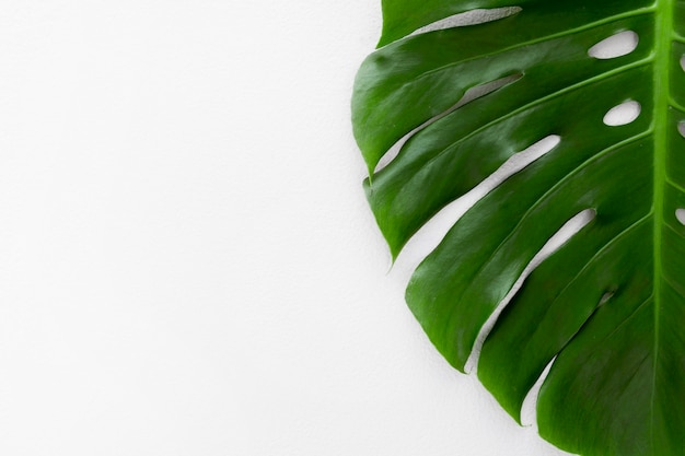 Flat of monstera plant leaf with copy space Premium Photo