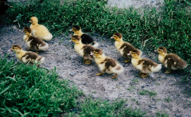A flock of little yellow ducklings running around the green grass Premium Photo