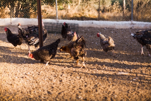 Flock of mixed breed chickens in farm Free Photo