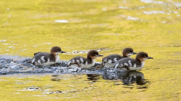 昼間に湖で泳ぐアヒルの群れ 無料写真