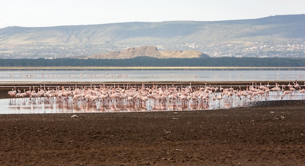 アフリカ、ケニアの大きなピンクのフラミンゴの群れ 無料写真