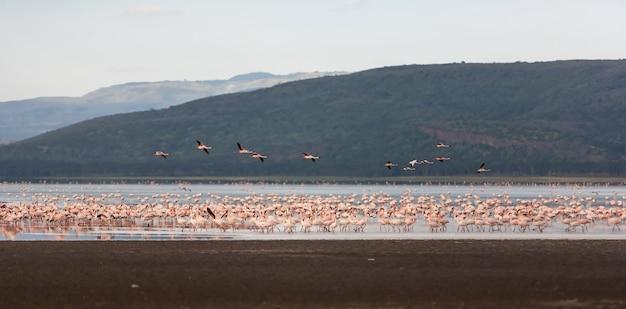 大きいピンクのフラミンゴの群れ 無料写真