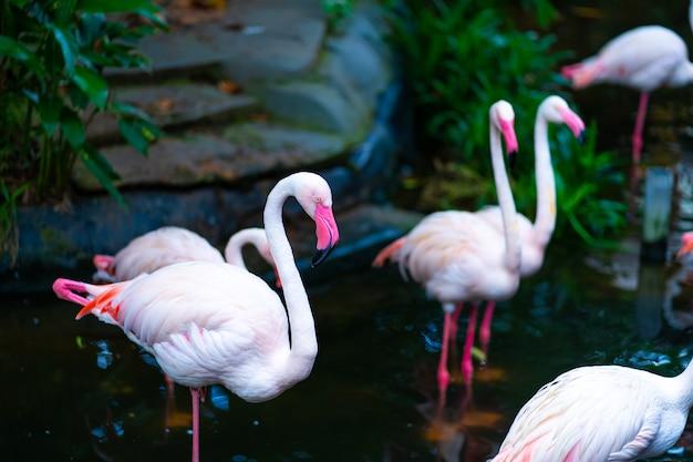 動物園の池のピンクのフラミンゴの群れ。 Premium写真
