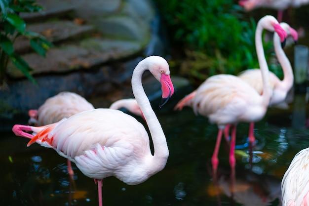 動物園の池のピンクのフラミンゴの群れ Premium写真