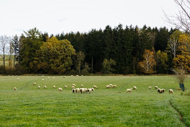 Flock of sheep grazing on beautiful green meadow Premium Photo