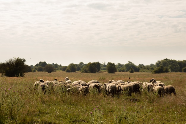 Flock of sheep grazing in the countryside Premium Photo