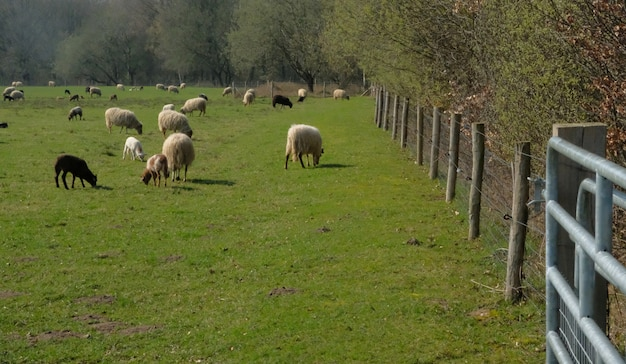 Flock of sheep grazing on a meadow in flat dutch landscape with trees on the horizon in speing Premium Photo