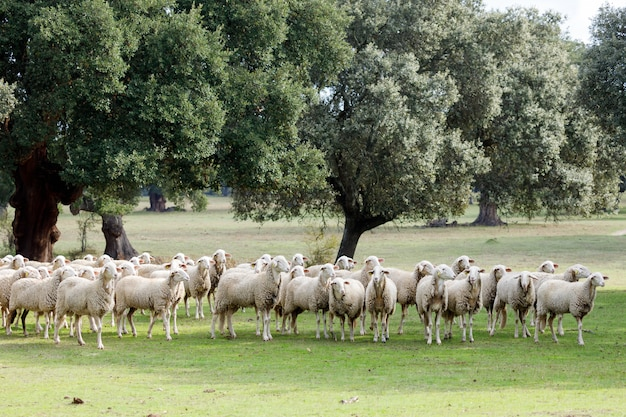 Flock of sheep grazing Premium Photo