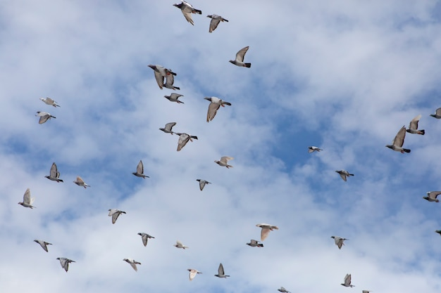 Flock of speed racing pigeon bird flying  against cloudy sky Premium Photo