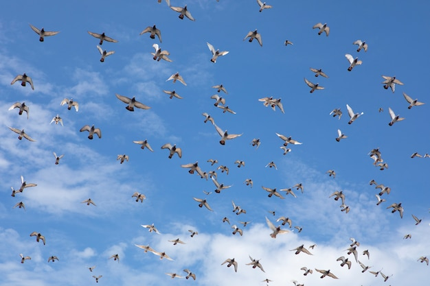 Flock of speed racing pigeon flying against beautiful clear blue sky Premium Photo