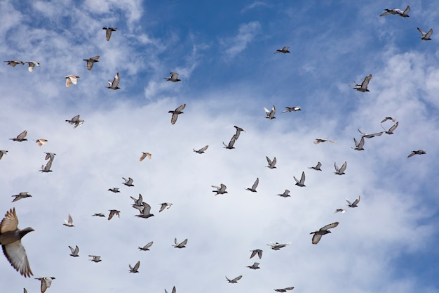 Flock of speed racing pigeon flying against blue sky Premium Photo