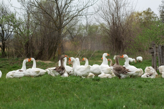A flock of white geese walk in the spring in the village on the lawn with fresh green grass Premium Photo