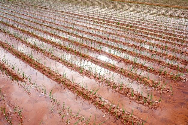 Полив овощных плантаций расточительством воды. Premium Фотографии