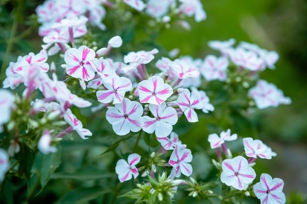 Цветочный ландшафт приносит буйство цвета на улицы города, городские клумбы с цветами, экологическую ответственность. яркий розовый и белый петунии цветочный фон. клумба в летнем саду. Premium Фотографии