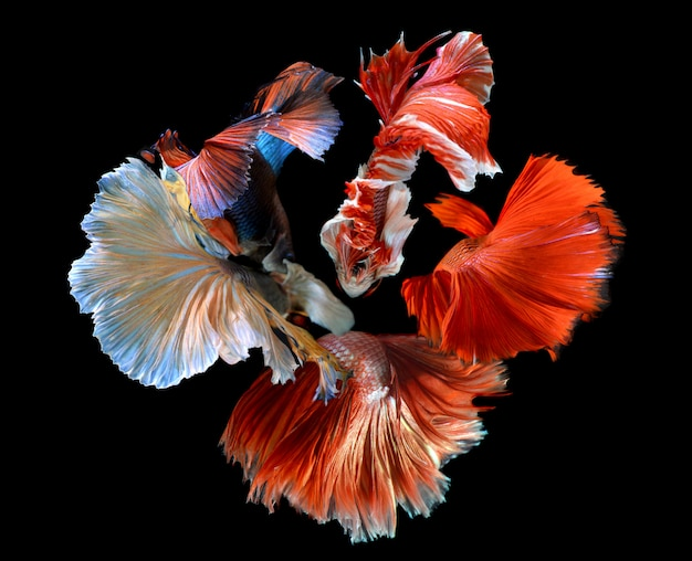 The flower of betta's tail fins mixed Premium Photo