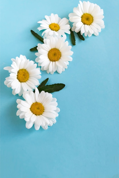 Flower composition from white daisies on blue Premium Photo