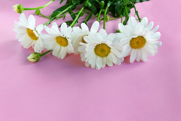 Flower composition of white chamomile on a pink background Premium Photo