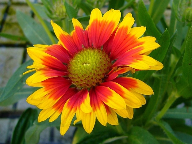 Flower Gaillardia Bloom Perennial Blanket Flowers Photo Free Download