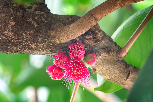 Flower of malay rose apple fruit Premium Photo