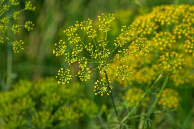 緑のディル(anethum graveolens)の花は農業分野で育ちます。 Premium写真