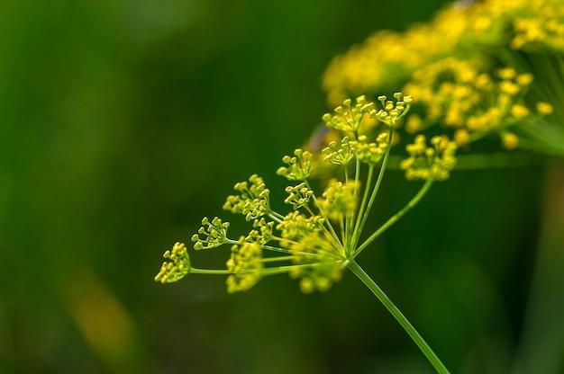 緑のディル(anethum graveolens)の花は農地で育ちます。 Premium写真