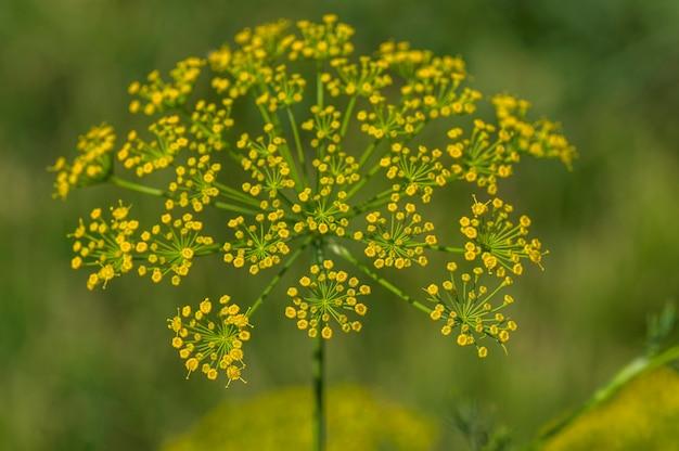 緑のディル(anethum graveolens)の花が農業分野で育ちます。 Premium写真