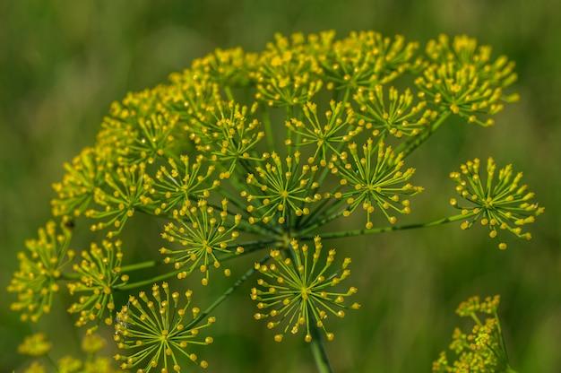 緑のディルの花が農業分野で育つ Premium写真