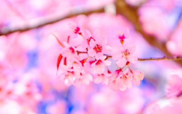 Flower pink beautiful and  wild himalayan  cherry blossom or sakura Premium Photo