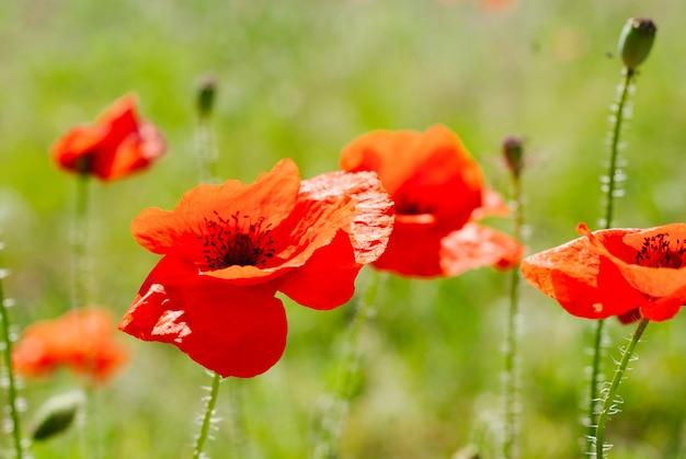 Flower poppy flowering Premium Photo