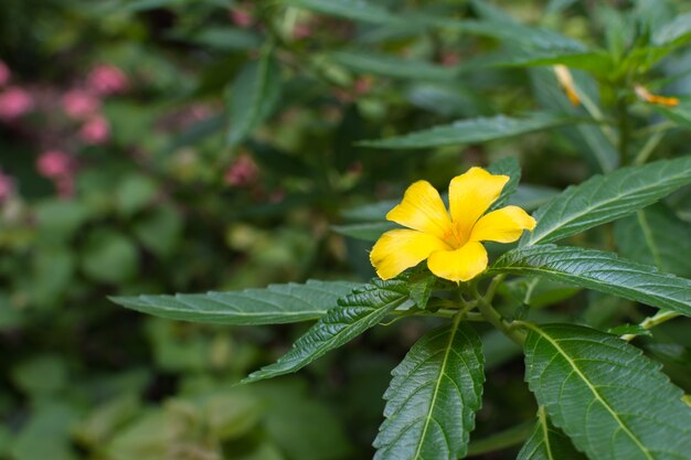 Flower sage rose flower yellow color naturally beautiful flowers flower sage rose flower yellow color naturally beautiful flowers in the garden premium mightylinksfo