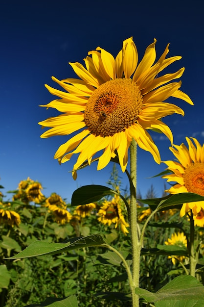 Flower sunflowers. blooming in farm - field with blue sky. beautiful natural colored background. Free Photo