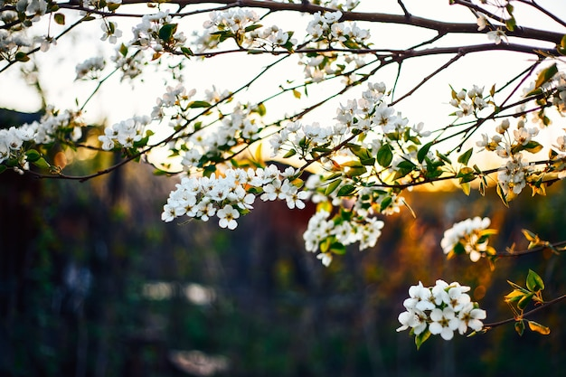 Flowering apple branches at sunset in the natural environment natural close-up. Premium Photo