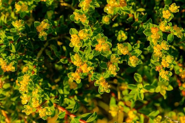 開花固有のマルタのトウダイグサeuphorbiamelitensis低木 無料写真